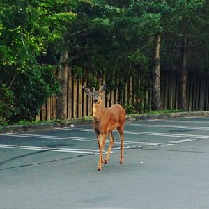Deer in Rite-Aid parking lot on July 5, 2016.