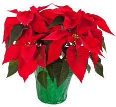 poinsettia-plant